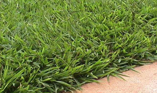 Batatais (Paspalum notatum)