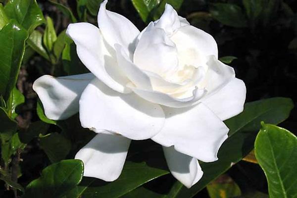 gardenia-para-decoracao