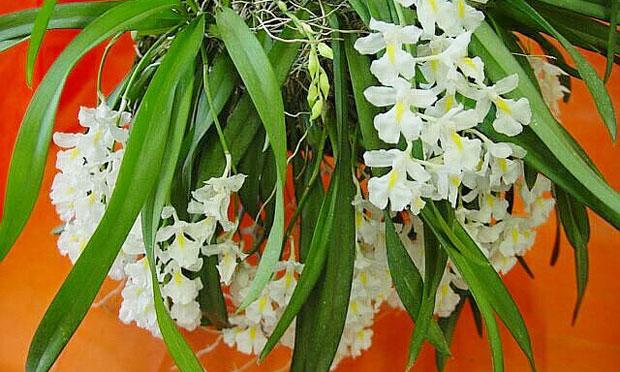 orquidea-23