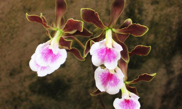 orquidea-33