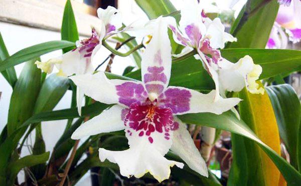 orquidea-35
