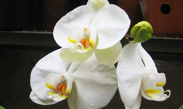 orquidea-42
