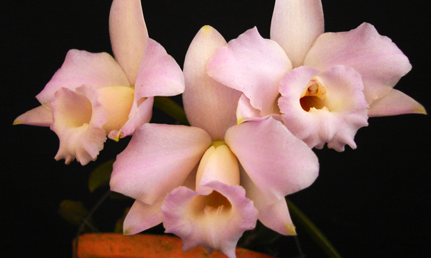 orquidea-47