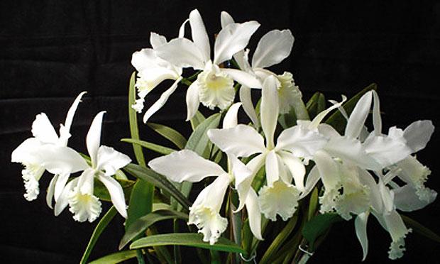 orquidea-5