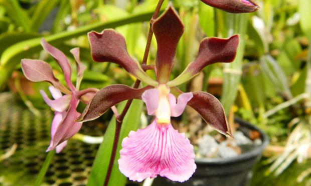 orquidea-6