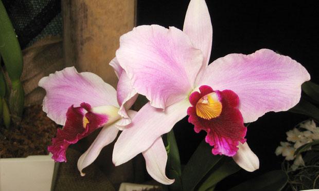 orquidea-9