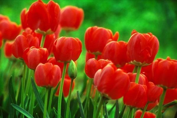 tulipas-para-decorar-casa